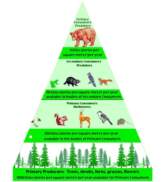 what is a biomass pyramid theearthproject com